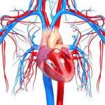 Анатомия и физиология сердечно-сосудистой системы человека
