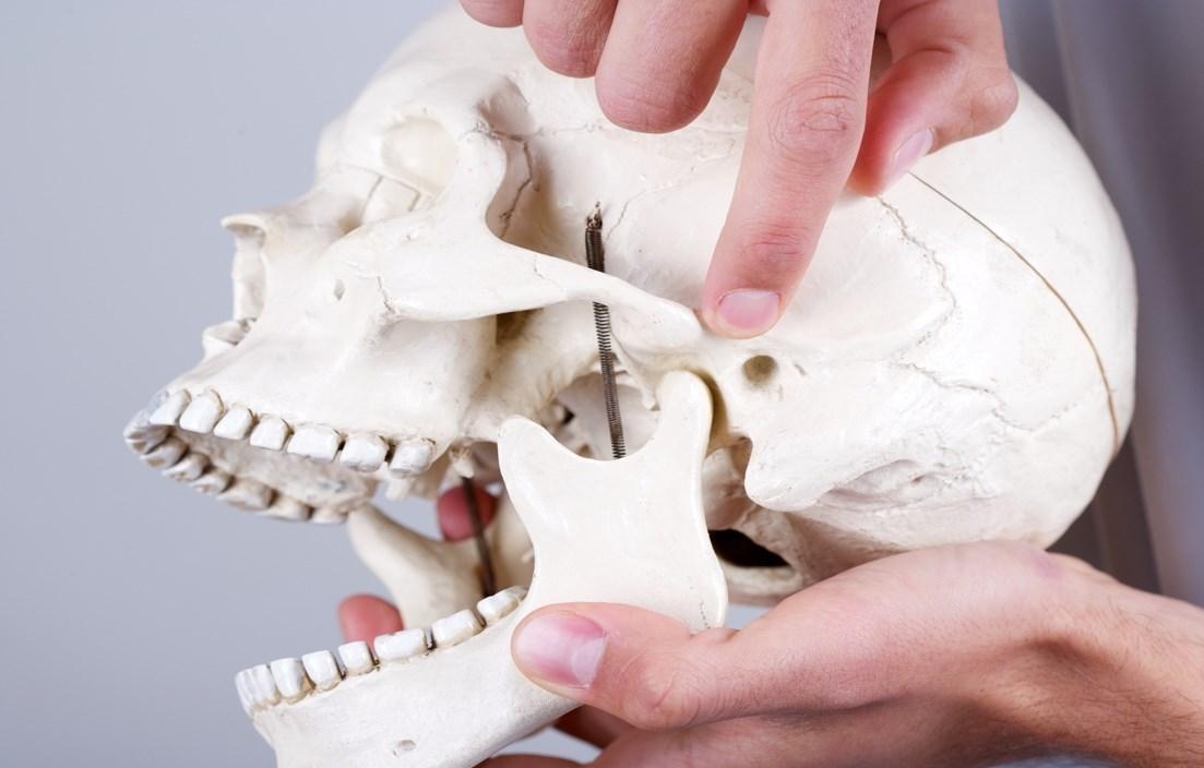 Челюсть череп