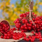 Польза и вред красной калины для здоровья