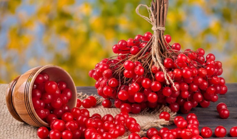 Калина красная для здоровья